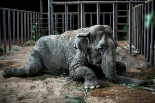 An elephant named Ramba that used to perform in circuses rests after arriving at the Brazilian Elephant Sanctuary