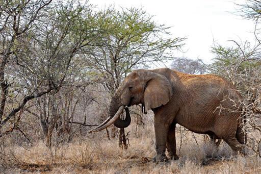 Buôn bán ngà voi bị cấm tại nhiều nước trên thế giới