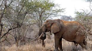 L'éléphant d'Afrique pourrait à court terme disparaître à l'état sauvage,  victime du braconnage pour l'ivoire, ont averti des experts réunis lundi au Botswana.