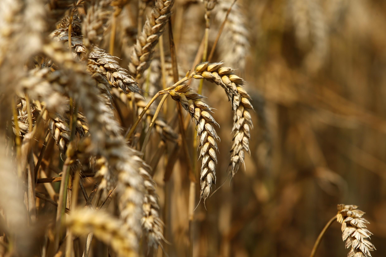 Un champ de blé à Beaucamps-le-Vieux, dans le nord de la France.