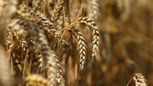 Un champ de blé à Beaucamps-le-Vieux, dans le nord de la France, le 31 juillet 2014.