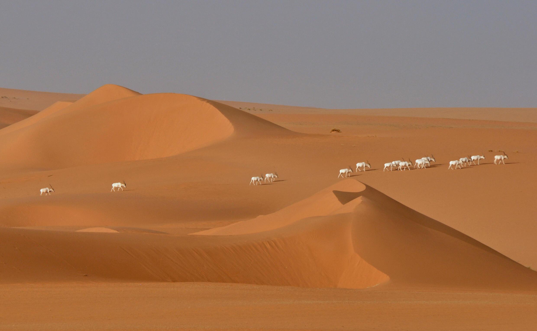 Un groupe d'antilopes addax dans le désert du Tin-Toumma. (Image d'illustration)