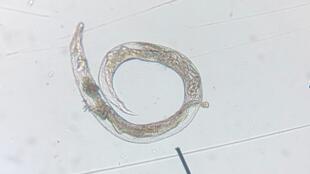 Nematodo entomopatoeno adulto IMG-20200826-WA0018