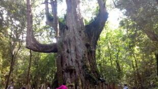 Les arbres millénaires sont une véritable attraction pour les touristes taïwanais qui se rendent dans la tribu.