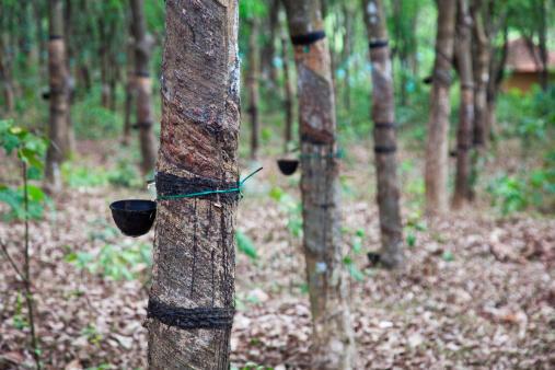 Une plantation d'hévéas.