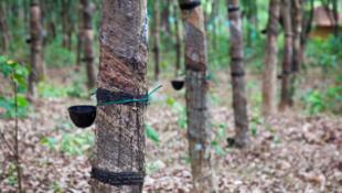 Du Vietnam à la Côte d'Ivoire, on a trop replanté jusqu'en 2011, record historique des prix à ce jour. Aujourd'hui les petits producteurs sont mal rémunérés partout. (Photo: une plantation d'hévéas.