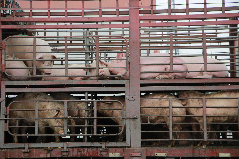 廣東東莞某屠宰場外的豬只  2017年12月22日