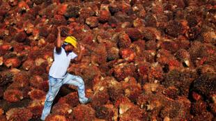 Un ouvrier récolte de l'huile de palme dans une usine de Sepang, en Malaisie.