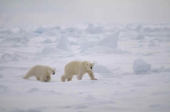 En los últimos 45 años, el número de osos polares se ha reducido al menos en un 30%.
