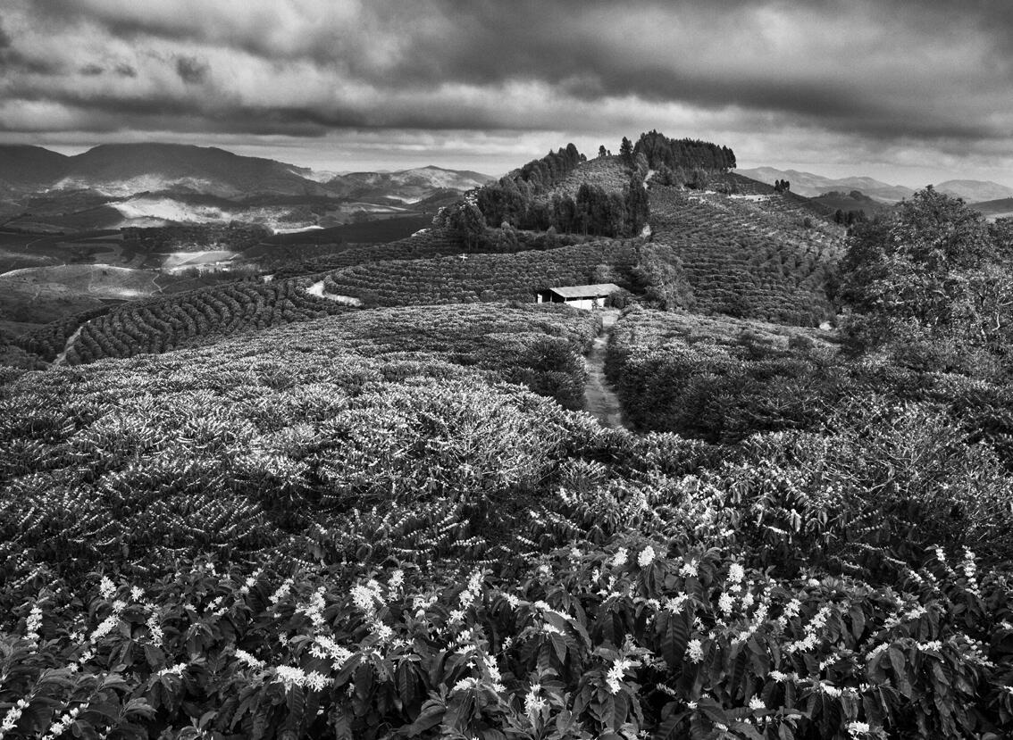 Estação de florescimento do café, fazenda Dutra, município de São João do Manhuaçú, região de Mata, estado de Minas Gerais, Brasil, 2014