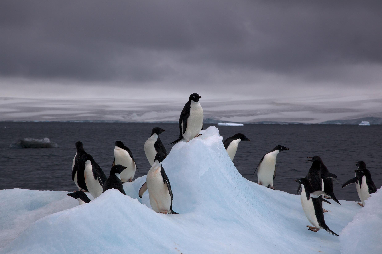 Pinguins-de-Adélia em um iceberg.