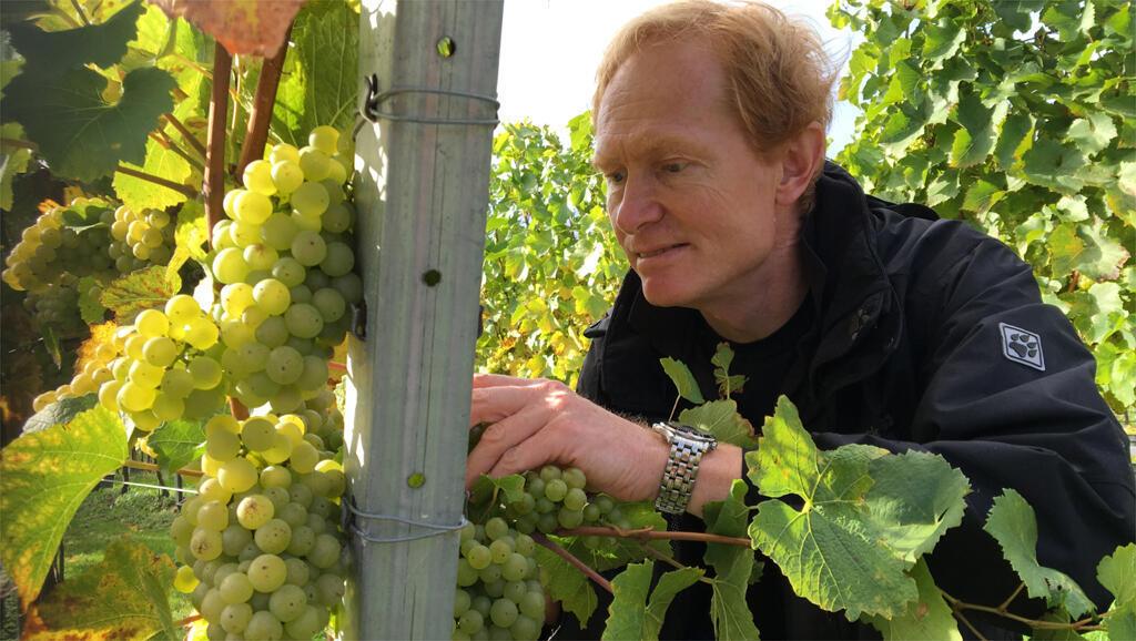 Mike, propriétaire du vignoble de Greyfriars, dans la région du Surrey, au sud de l'Angleterre bichonne ses vignes.