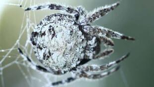 L'araignée détecte de très petites vibrations et les sons environnants, jusqu'à plusieurs mètres de distance. (Photo: la Caerostris Darwini de Madagascar, dîte «araignée-écorce»).