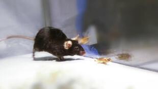 Un ratón tratando de perseguir a un grillo, durante los experimentos hechos en el laboratorio de neurobiología de la alimentación de la Universidad de Yale.
