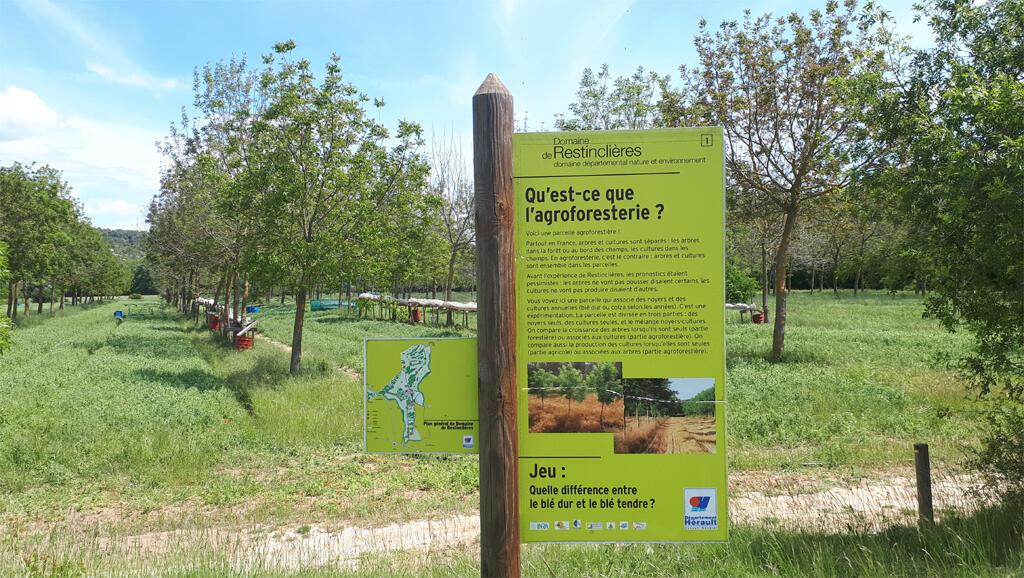 Un champ agroforestier avec des noyers et une culture de pois au domaine de Restinclières près de Montpellier.