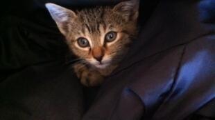 Le chat, premier animal de compagnie dans de nombreux pays.