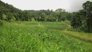 Pendant près de trois décennies, le pesticide a pollué les sols de Guadeloupe (image) et de Martinique.