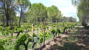Un champ de vignes en agroforesterie au domaine de Restinclières près de Montpellier.