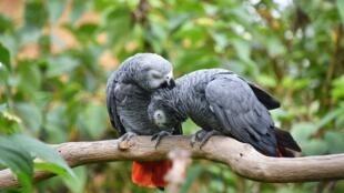 Le perroquet gris est l'oiseau le plus bavard au monde.