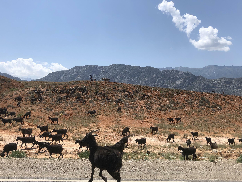 Стадо коз на границе Таджикистана и Кыргызстана. Баткенская область, май 2021 г.