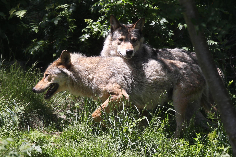 Lobos cinzentos europeus fotografados no parque semi-animal selvagem de Los Angeles, no sudoeste da França.