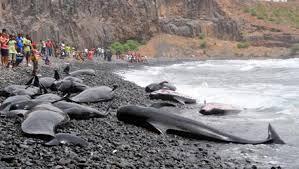 Baleias  mortas depois de terem dado à costa da Ilha do Sal, em Cabo Verde.