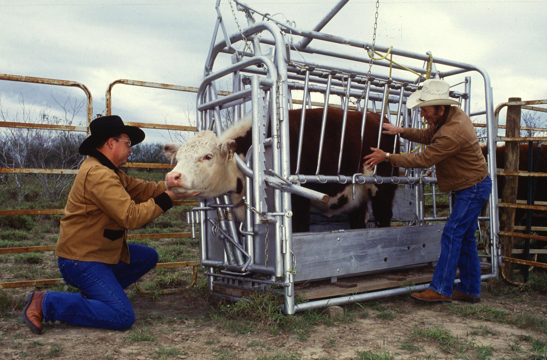 Temple Grandin s'est inspirée des cages de contention pour immobiliser le bétail pour concevoir sa machine à câlin.