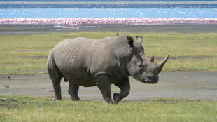 A white rhino at Lake Nakuru, Kenya