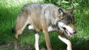 Durante el siglo pasado, el lobo estuvo ausente del territorio francés a lo largo de varias décadas.