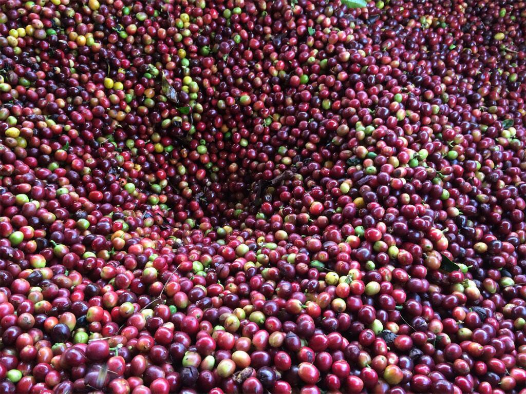 Les grains de café à la récolte.