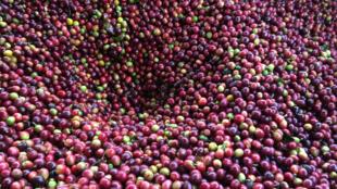Des grains de café à la récolte.