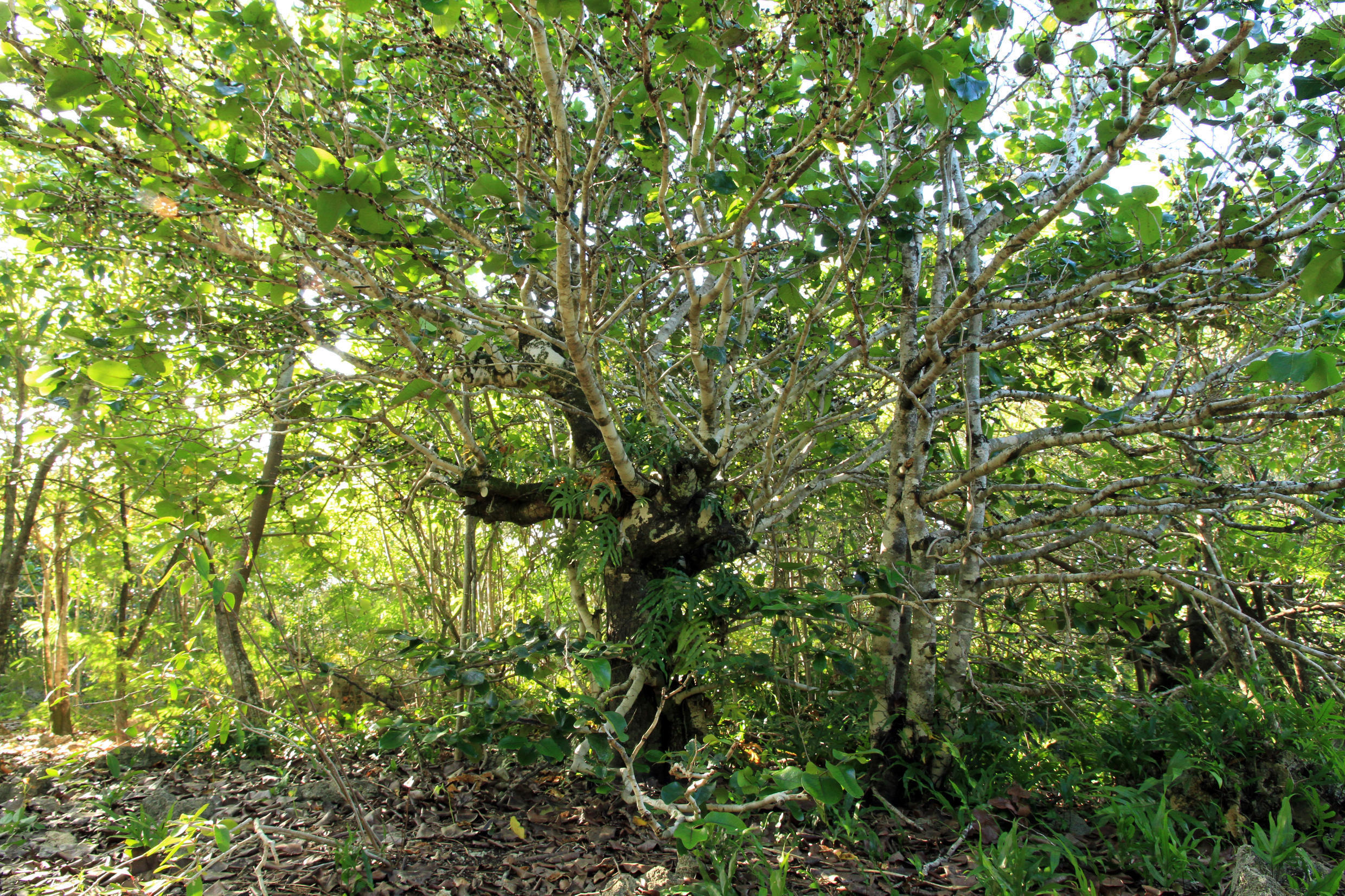 The Ile aux Aigrettes Ebony is one of the 12 Ebony species, unique to Mauritius, which are only found in lowland forests.