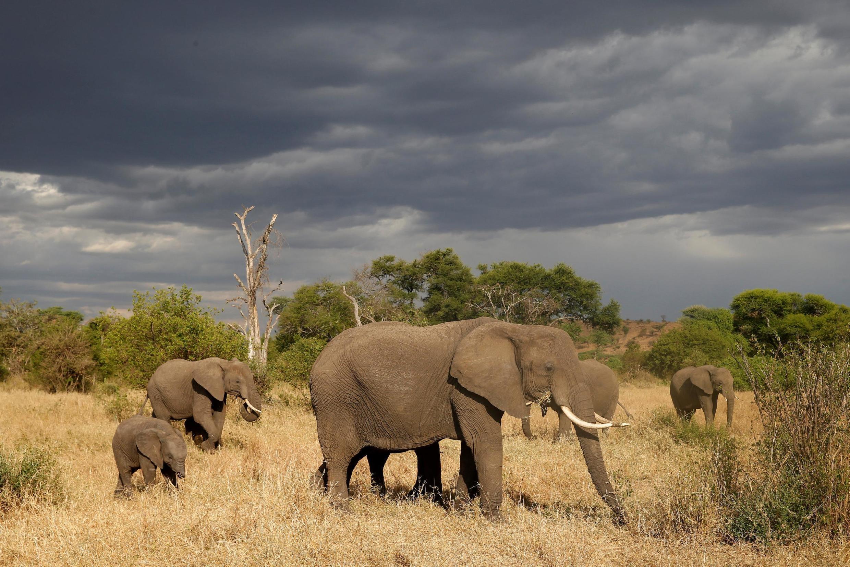 Le braconnier originaire de RDC a été reconnu coupable de l'abattage de plusieurs éléphants dans un parc du Nord-Congo (image d'illustration).