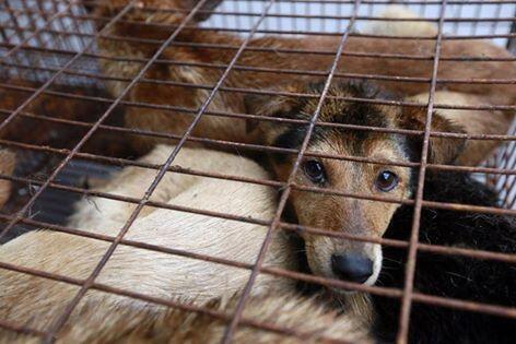 Ongs como a Humane Society International comemoram lei que proíbe consumo de cães e gatos.
