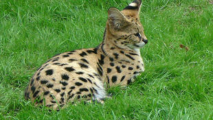 A young serval in Thoiry Zoo