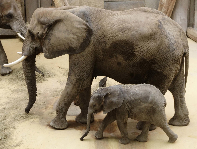 Hai mẹ con voi châu Phi trong sở thú ở Vienna; 04/09/2014. Chỉ trong vòng 10 năm, lượng voi trên toàn thế giới đã giảm mất 60%.