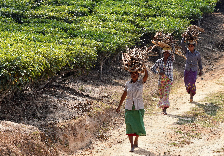 Une plantation de thé du district de Nagaon, dans le nord-est de l'État de l'Assam, en Inde.
