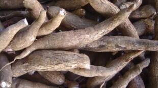 Des racines de manioc, partie comestible de la plante