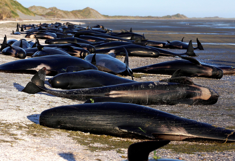 Массовое самоубийство китов на мысе Фаруэлл в Новой Зеландии, 10 февраля 2017 г.