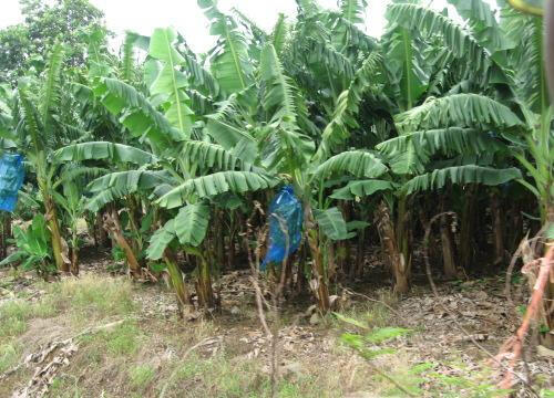 Bananeraie à Sainte-Marie en Martinique.