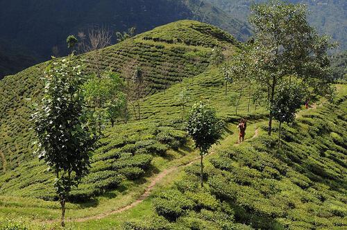 Le Forum international des producteurs de thé voudrait avoir une influence sur les prix du thé.