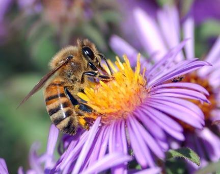"""Las derogaciones temporales que permitan a los agricultores franceses volver a utilizar estos insecticidas perjudiciales para las abejas, serán """"reservadas"""" al cultivo de la remolacha y no podrán extenderse a otros cultivos, aseguró el miércoles el gobierno"""