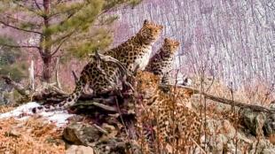 Una hembra de leopardo de Amur y sus cachorros en el parque nacional ruso Tierra del Leopardo, región de Primorie (extremo oriente), en diciembre de 2020