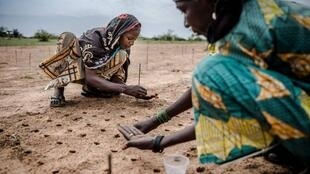 Deux femmes effectuent des semis dans le cadre d'un projet de plantation dans la région de Zinder (Niger), le 30 juillet 2019.