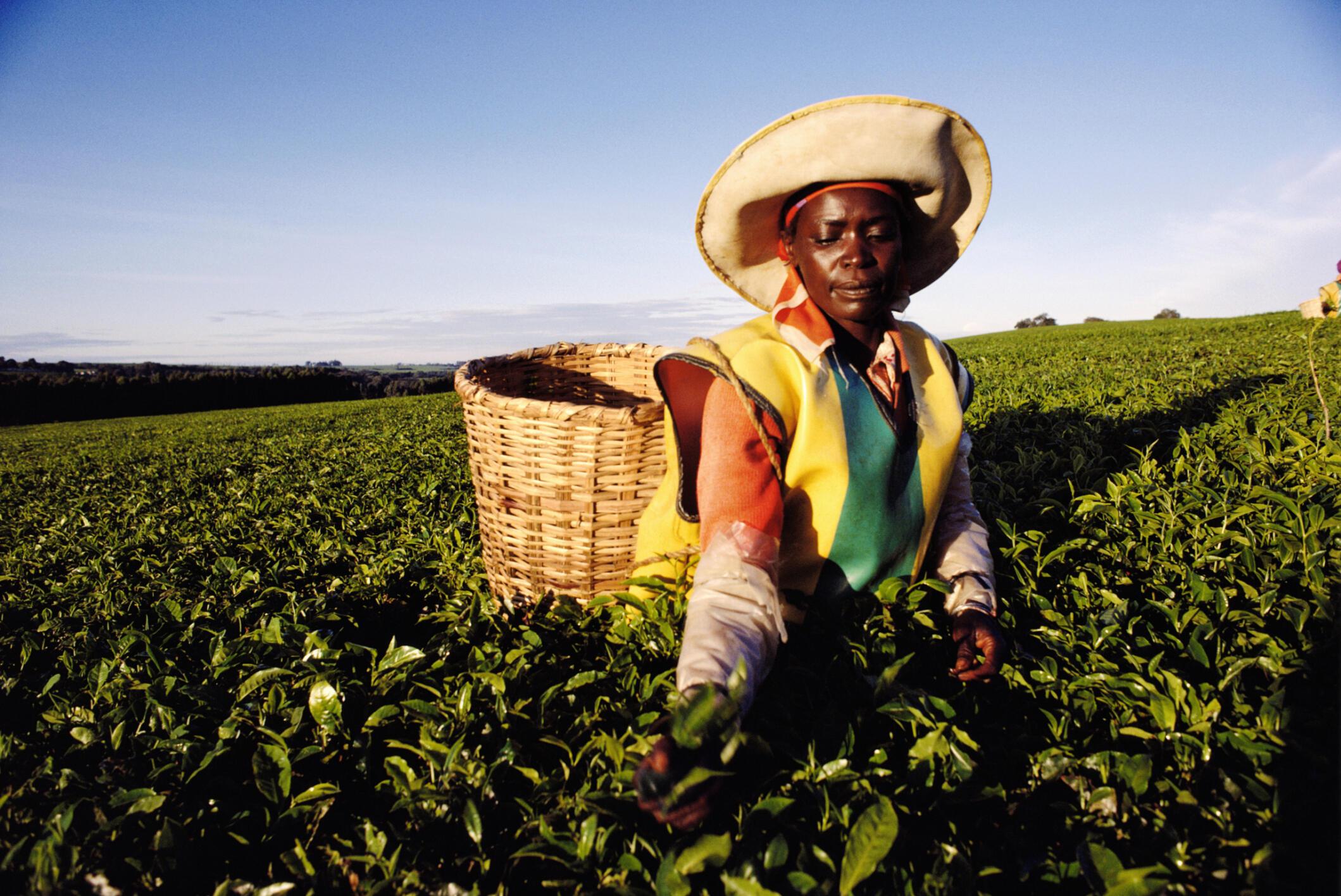 Récolte de feuilles de thé dans une plantation à Kericho.