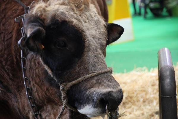 Bull at the yearly agrishow in Paris, Porte de Versailles, 23 February 2020