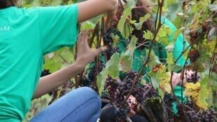 Les collégiens dans le vignoble bordelais.