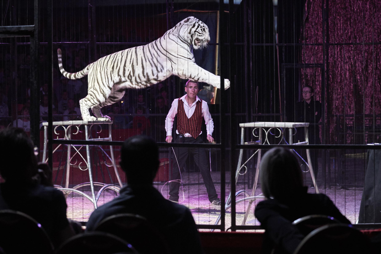 Un spectacle de tigres, lors d'une représentation du cirque Médrano, en octobre 2016 à Lyon.