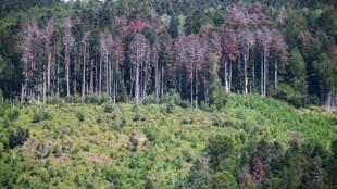 Des sapins souffrant de la sécheresse autour de Masevaux, dans l'est de la France.