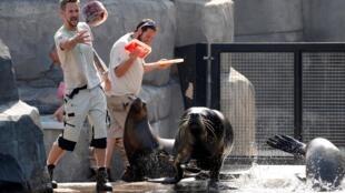 """Thời tiết quá nóng, hải cẩu ở sở thú Vincennes, phía đông Paris được cho ăn """"kem""""."""